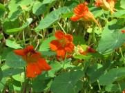 オレンジ色のキンレンカ