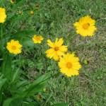 オオキンケイギク 花の姿