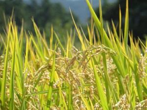 Rice/ イネ