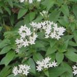 ペンタス 白花の姿