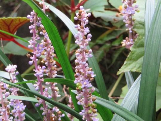 ジャノヒゲ 花のアップ