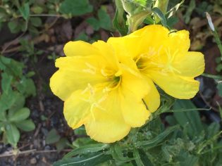 Evening primrose/ マツヨイグサ