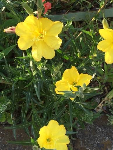 マツヨイグサ 花の姿