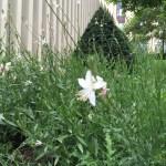 ハクチョウソウ 花と草の姿