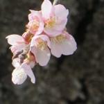 オオカンザクラ 花のアップ
