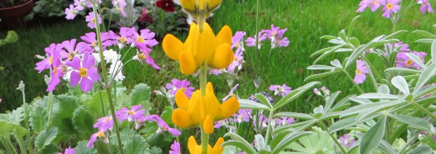 Annual yellow-lupin/ キバナルピナス