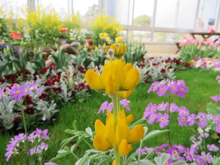 キバナルピナス 花のアップ