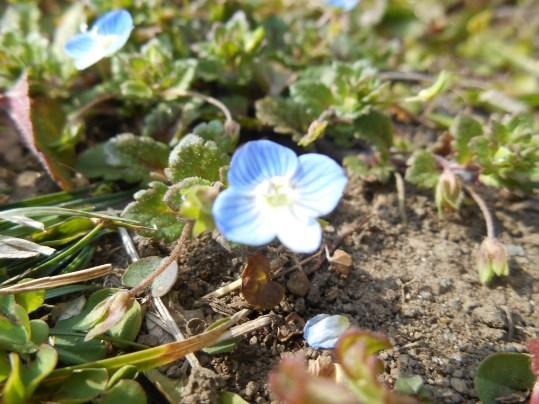 オオイヌノフグリ 花のアップ