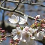 咲き始めの ソメイヨシノ