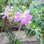 メキシコハナヤナギ/メキシコハコヤナギ 花のアップ