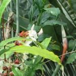 クラリンドウ 植物の様子