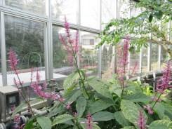 オドントネマ カリスタキウム 植物の姿