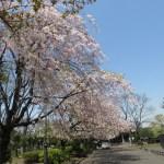 ヤエベニシダレ 八重紅枝垂の木の様子