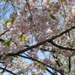 ヤエベニオオシマ 八重紅大島の花の様子
