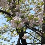 イチヨウ(一葉)の花の様子