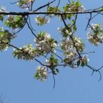 シラユキ 花の咲いている枝の様子