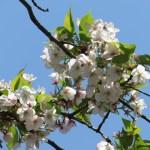 シラユキの花の様子