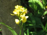 Golden Orchid / キンラン