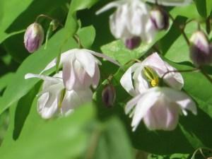 バイカイカリソウ 花のアップ