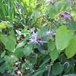 イカリソウ 花の咲いている様子