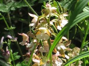 エビネラン 花の様子