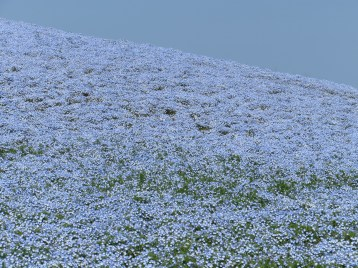 ネモフィラの丘