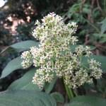 ニワトコ 花のアップ