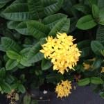 サンタンカ 黄色の花