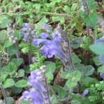 コバノタツナミ 花の様子