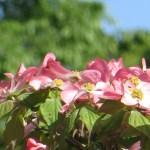 ハナミズキ 光を浴びるピンク系の花