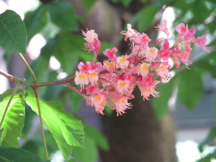Red Horse-chestnut/ ベニバナトチノキ
