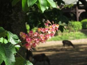 ベニバナトチノキ 花の様子 背景は
