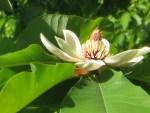 Japanese Bigleaf Magnolia/ ホウノキ