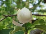ウケザキオオヤマレンゲ 花のアップ