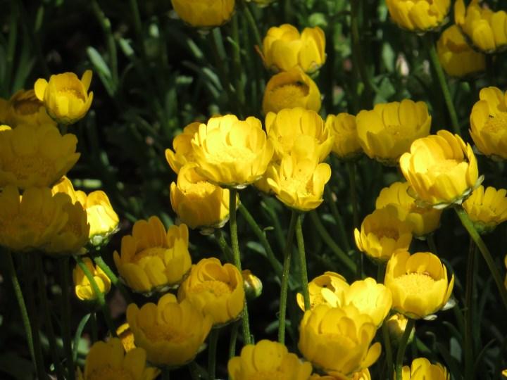 Yellow Daisy/ クリサンセマム・ムルチコーレ