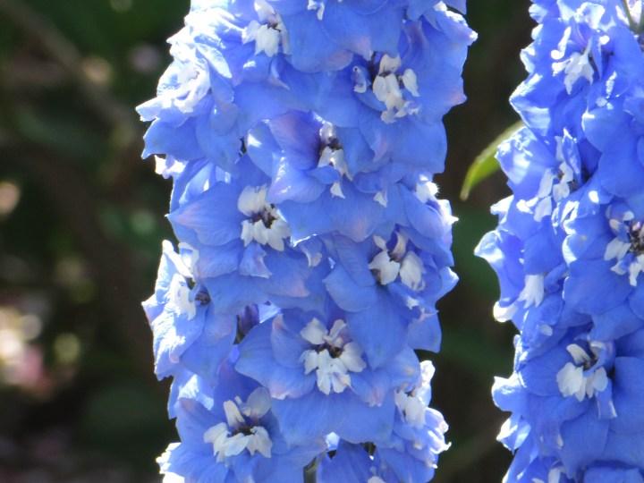 オオヒエンソウ オーロラ系 花のアップ