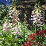 ジギタリス 花の様子