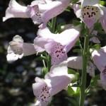 ジギタリス 花のアップ