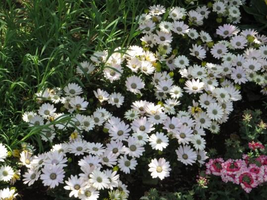 オステオスペルマム 花の様子
