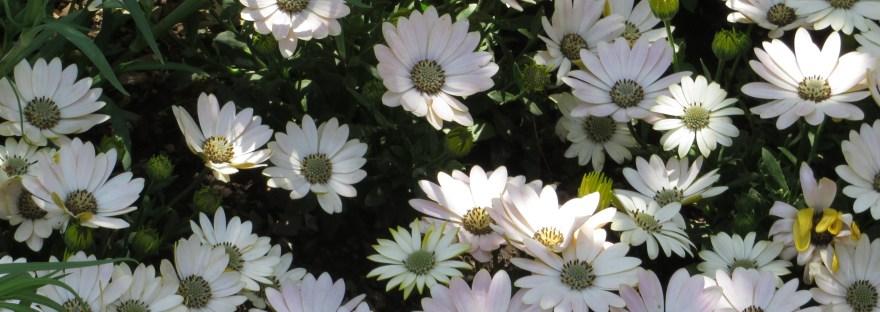 Daisybushes/ オステオスペルマム