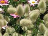 ウサギノオ 花のアップ