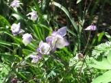 フウリンオダマキ 花の様子