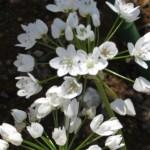 アリウム・コワニー 花のアップ