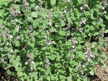 キャットミント 花の咲いている様子
