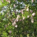 ライラック 花の咲いている様子