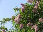 Lilac/ ライラック