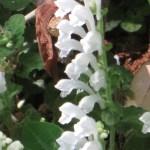 タツナミソウ 花のアップ