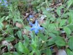 Gentian blue gromwell/ ホタルカズラ
