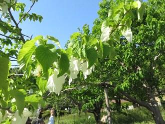 ハンカチノキ 花の咲いている様子