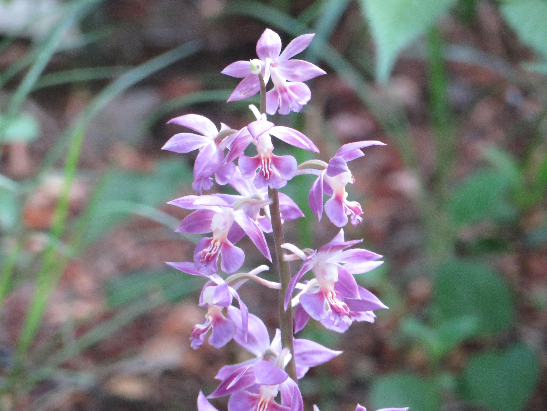 紫色のエビネラン